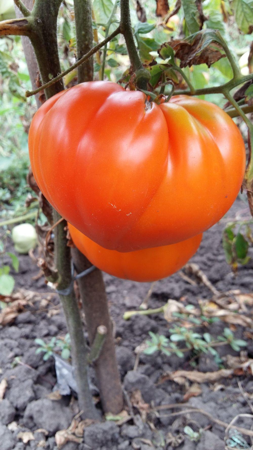 Посадка помидоров в открытый грунт в Украине: выращивание 36