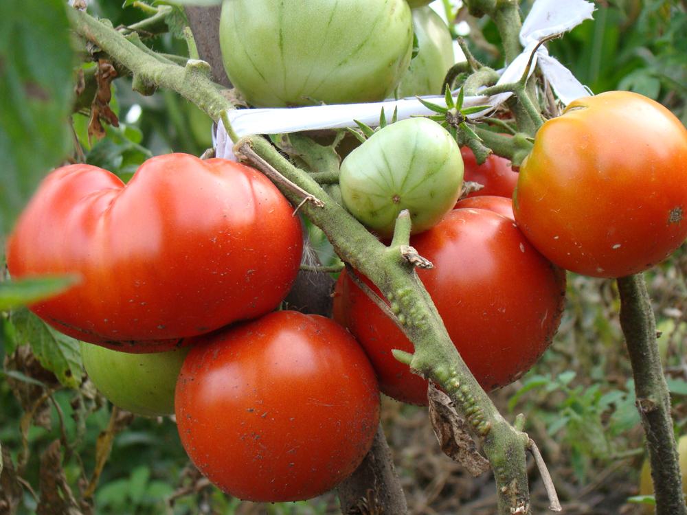 Новые сорта томатов на 2018 год фото и описание