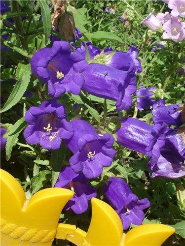 Фото колокольчиков цветов многолетних